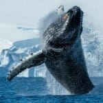 PONANT Yacht Cruises & Expeditions - Whale