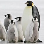 PONANT Yacht Cruises & Expeditions - Penguins